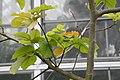 Sandoricum koetjape Manila 3zz.jpg