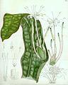 Sansevieria kirkii pm2.jpg