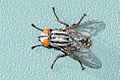 Sarcophagidae Flesh Fly Albuquerque PP1.jpg