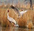 Sarus Cranes Courtship Ritual.jpg