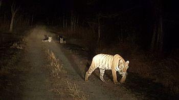 Satpuras Tigers.jpg