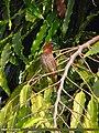 Scaly-breasted Munia (Lonchura punctulata) (15274479883).jpg