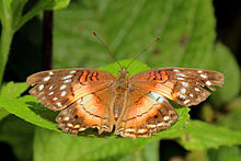 Scarlet peacock (Anartia amalthea) female.jpg