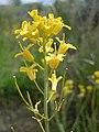 Schoenocrambe linifolia.jpg