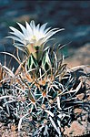 Sclerocactus papyracanthus fh 080 NM B.jpg