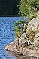 Scots Pine (Pinus sylvestris) - Oslo, Norway 2020-08-26.jpg