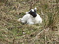 Scottish blackface lamb.jpg
