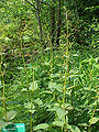 Scrophularia nodosa12.jpg