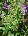 Scutellaria baicalensis flowers