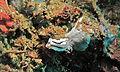 Sea Slug (Chromodoris lochi) (8458202708).jpg