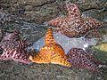 Sea Stars - Flickr - GregTheBusker.jpg
