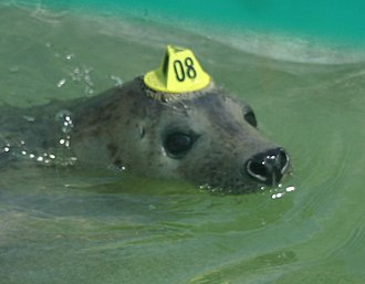 Cornish Seal Sanctuary - Seal with hat tag