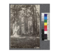 Secondgrowth Redwood Yield Study. North Fork of Gualala - plot -1. A 52 year old stand of pure redwood - 76 M.B.M. per acre. This stand is on the road to Northfork Inn and just before reaching the Inn. D. Bruce - Oct. 1922.png