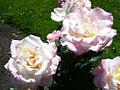 Secret Rose Variety (4426120475).jpg