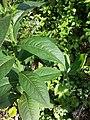 Senecio nemorensis subsp. jacquinianus sl6.jpg