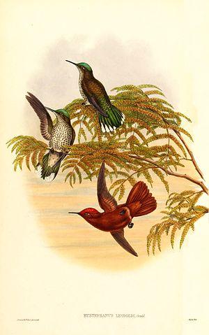 Alejandro Selkirk Island - The extinct Alejandro Selkirk firecrown, Sephanoides fernandensis leyboldi