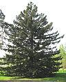 Sequoia sempervirens by Line1.jpg