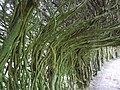 Serpentine Yew Tunnel at Trevarno Gardens - geograph.org.uk - 996615.jpg