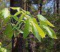 Shagbark hickory spring leaf cluster.jpg
