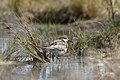 Sharp-tailed Sandpiper (36551369783).jpg