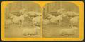 Sheep & lambs, by Kilburn Brothers 4.png