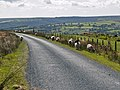 Sheep grazing by the road to Lealholm Side - geograph.org.uk - 552738.jpg