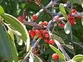 Shepherdia argentea (5199899353).jpg
