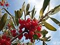 Shepherdia argentea (7934835532).jpg