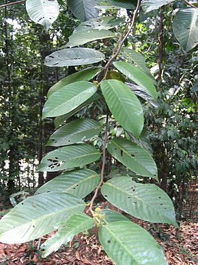 Description de l'image Shorea leprosula - feuilles.jpg.