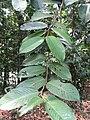 Shorea leprosula - feuilles.jpg