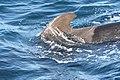 Short-finned Pilot Whale 3.jpg