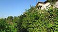 Shruberry near the houses. August 2014. - Кустарник вдоль домов. Август 2014. - panoramio.jpg
