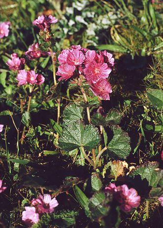 Sidalcea malviflora - Sidalcea malviflora.