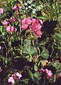 Sidalcea malviflora 1.jpg