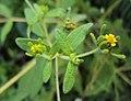 Sigesbeckia orientalis 03.JPG