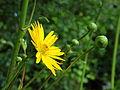Silphium terebinthinaceum. Locatie De Kruidhof.JPG