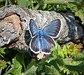 Silver-studded Blue Plebejus argus male (31709024538).jpg