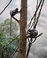 Silvered Leaf Monkey Presbytis cristata Trachypithecus cristatus at Bronx Zoo 1.jpg
