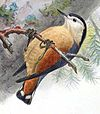 Illustration of S. przewalskii in worn plumage, by J.G. Keulemans