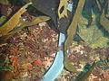 Six gill hagfish Eptatretus hexatrema at the Oakburn DSC09101.JPG
