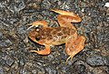 Skittering Frog Euphlyctis cyanophlyctis by Dr. Raju Kasambe DSCN0020 (1).jpg