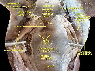 Pharyngobasilar fascia - Image: Slide 3kuku