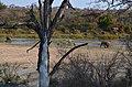 Sloni u řeky Sand River, Krugerův park - panoramio.jpg