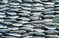 Small fish in symmetrical pattern.jpg
