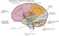 Smegenų dalys.png
