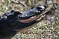 Smiling Alligator (6743074203).jpg