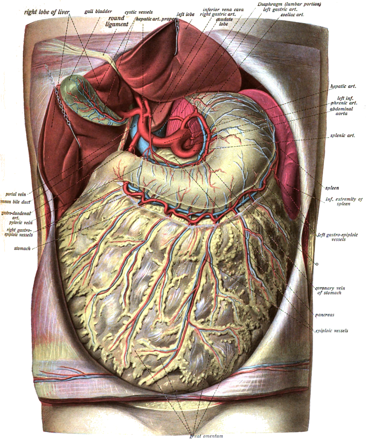 Greater omentum - Wikipedia