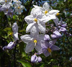 Solanum jasminoides.jpg
