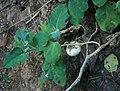 Solanum melongena 5.jpg