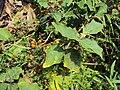 Solanum violaceum 12.JPG